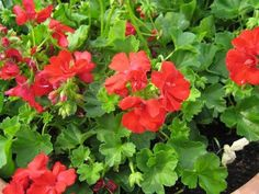 Geranium Winter Care - how to save over winter from Gardening Know How.