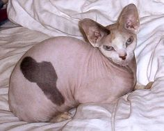 The Sphynx (aka Canadian Hairless) is a rare breed of cat with extremely little fur, or at most a short fuzz over its body, and no whiskers (vibrissae). Their skin is the color their fur would be, and all the usual cat marking patterns (solid, point, van, tabby, tortie, etc) may be found in Sphynx too.