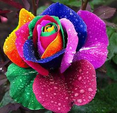Rainbow Rare Rose Seeds Exotic Rose Flower Seeds by Greenworld1