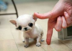 Tiny chihuahua!!!