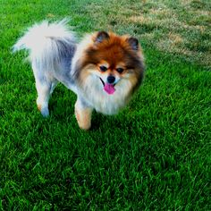 Pomeranian Lion Haircut  Pomeranian Haircut Pomeranian Puppy Pom Dog Dog