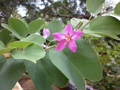bauhinia variegata - Pesquisa Google