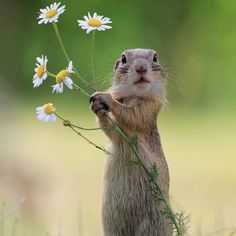 A Handful of Flowers.. - European ground squirrel (Spermophilus citellus) known as the European souslik