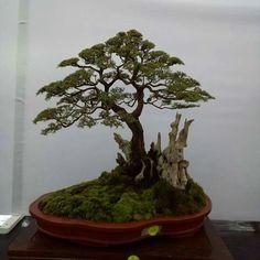 200 jahre alte fichte - picea abies als bonsai-baum | bonsai bäume, Best garten ideen
