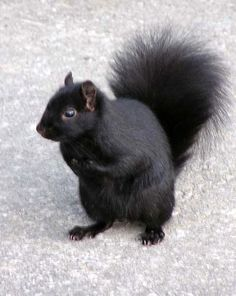 A black squirrel-- we have one in our neighborhood! The Iroquois shared the legend of the black squirrel causing solar eclipses. You go, powerful little black squirrel. Black Squirrel, Flying Squirrel, Baby Animals, Cute Animals, Funny Animals, Squirrel Pictures, Melanism, Animal Facts, Chipmunks