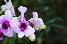 Singaporean Orchid