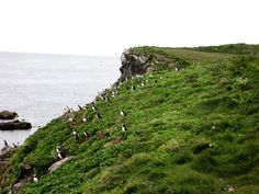 Puffins Above the Arctic Circle (Grimsey Island, Iceland)