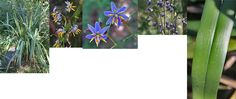 Yarra Ranges Plant Directory - photo montage of D. tasmanica