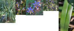 Yarra Ranges Plant Directory - photo montage of D. tasmanica