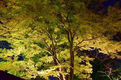 市川市・真間山弘法寺紅葉ライトアップ2015 Autumn leaves  Lighting Up in Guhouji Temple Ichikawa city,Japan