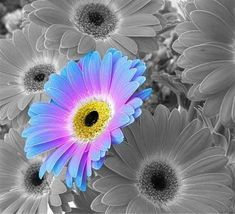 i like the blue and purple together like that. i think that this picture needed that extra splash of colour colourful Gerbera Daisy Amazing Flowers, Beautiful Flowers, Gerber Daisies, Daisy Flowers, Nightmare Before Christmas Tattoo, Daisy Patches, Beautiful Flower Tattoos, Daisy Love, Trees To Plant