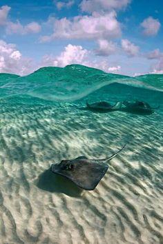 Rays beneath the waves.
