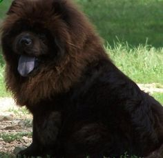 We had a chow chow just like this one when i was growing up her name was Sheba...i miss her so much..