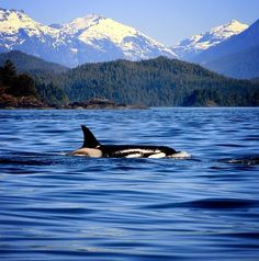 Killer whale off of Vancouver's coast.