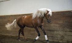 Lusitano Horse Finder | Beautiful Lusitanos for Sale