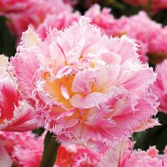 Sugar Bird Tulip - Flowers And Bulbs Mail Order Plants, Planting Tulips, Magenta Flowers, Tulip Bulbs, Home Vegetable Garden, Fall Plants, Organic Fertilizer, Types Of Lighting, Gardening Tips