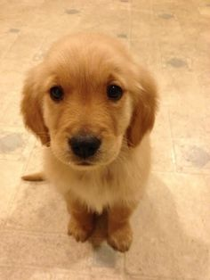These are the puppy eyes, you will succumb to the puppy eyes. | Community Post: 60 Times Golden Retrievers Were So Adorable You Wanted To Cry