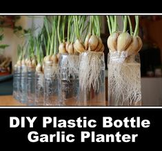 DIY Plastic Bottle Garlic Planter Those empty plastic water bottles are about to become handy again. We have already made the diy self watering plastic bottle seed starter, the diy plastic Hydroponic Gardening, Container Gardening, Organic Gardening, Growing Garlic From Cloves, Garlic Growing Indoors, Grow Garlic, How To Plant Garlic, Plants In Bottles, Water Bottles