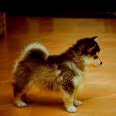 I want this little Pomeranian + Husky puppy!!!!