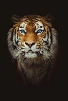 "A Tiger: ""Dignity & Grace."" (Photographer: CV.)"