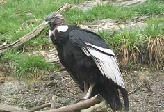 Condor at the Akron Zoo