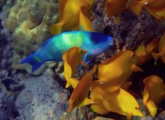 Palenose Parrotfish and Yellow Tang   National Wildlife Federation Photo Store
