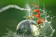 """""""Kungfu Ant"""" by Uda Dennie. ... A red ant takes a surprise ride on the back of a water droplet."""