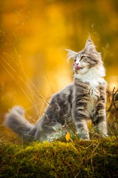 Photo by Peter Steffensen on fivehundredpx · · · Murphy by Peter Steffensen on Warrior Cats, Pretty Cats, Beautiful Cats, Cute Cats And Kittens, Cool Cats, Voiture Rolls Royce, Cat Pose, Norwegian Forest Cat, Cat Photography