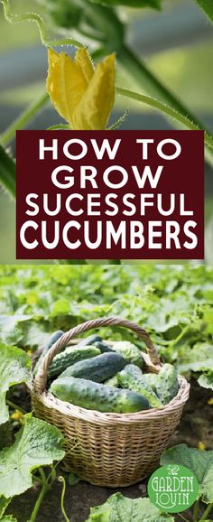 Nothing is more frustrating and carefully planting, feeding, and caring for your cucumber plants only to be rewarded with a few scrawny, thumb-sized, bitter cucumbers.   Cucumbers can be a picky plant, so caring for them at the right time and in the right spot is critical. Here is everything you need