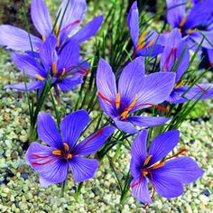 Captivating Crocus sativus - grown as a source of saffron dye and colouring.