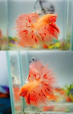 How Long Do Betta Fish Live? years is a common life-span of a domesticated betta fish, nonetheless approximately 6 years is very achievable as well as 10 can be done! Betta Aquarium, Freshwater Aquarium Fish, Pretty Fish, Beautiful Fish, Animals Beautiful, Beautiful Pictures, Betta Fish Types, Betta Fish Care, Betta Tank