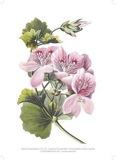 KUNSTTRYK A4 – Pelargonium Fanny Fawkes