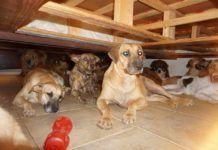 Közel száz kutyát mentett meg a Dorian hurrikán pusztításától egy bahamai nő Labrador Retriever, Dogs, Animals, Labrador Retrievers, Animales, Animaux, Pet Dogs, Doggies, Animal