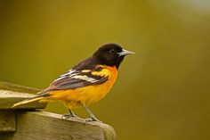 Mr. Baltimore Oriole by CaoLin  on 500px