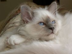 Lilac point birman. I can't wait to get my lilac birman, and we will call him Cookie!