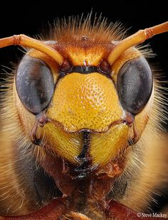 Hornet by Steve Mackay Like Animals, Animals And Pets, Lion King Jr, Macro Pictures, Fearfully Wonderfully Made, Bees And Wasps, Macro And Micro, Bugs And Insects, Weird Creatures