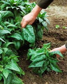 How to Grow Spinach #Organic_Gardening - 101 Gardening