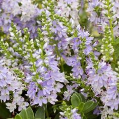 Buy Hebe 'Margret' (Shrubby Veronica) online from Jacksons Nurseries.