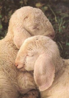 Little lambs cuddling.