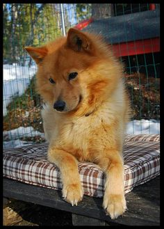 "FINNISH SPITZ - I grew up with a dog just like this. Gorgeous. And doesn't  have that ""dog smell"""