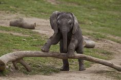 I betterget to see a baby Elephant in the wil before I die. Life would be perfect after that ;)
