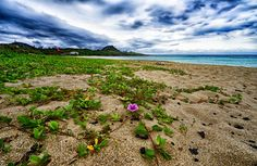 Beach Flower by melovesushi from http://500px.com/photo/203026689 - Kenting Beach in southern Taiwan  Amazing coastline totally untouched .. More on dokonow.com.