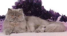Foxy I Lav Lucy! of Pirayas,  Lilac Persian, Female