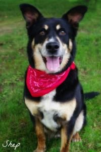 """PLEASE RESCUE/ADOPT THESE GREAT DOGS AT MAHONING COUNTY DOG POUND Youngstown, OHIO....SEE VIDEOS! Pictured"""" SHEP (lovebug)   www.petfinder.com/shelters/OH099 html https://www.youtube.com/watch?v=9dHGGrUsBgY https://www.petfinder.com/pet-search?shelterid=OH599"""