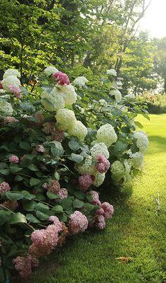 Incrediball and Invincibelle Spirit hydrangeas combine for a beautiful effect. #hydrangeas #shrubs #pinkflowers
