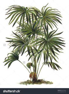 Plant - Livistona (Corypha) Australis - Cabbage-Tree Palm ...
