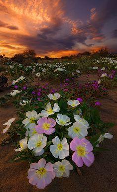 etherealvistas:  Desert Beauty (USA) by   Bsam