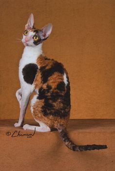 Click to learn about the history, personality, common traits and health issues for the Cornish Rex cat. Description from pinterest.com. I searched for this on bing.com/images