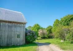 Barn and lilacs 10249 RR Uxbridge Lilacs, Shed, Barn, Outdoor Structures, House Styles, Plants, Home Decor, Converted Barn, Decoration Home