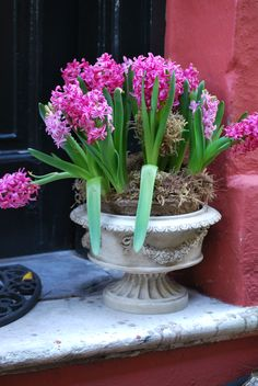 Bright pink hyacinths blooming in an urn